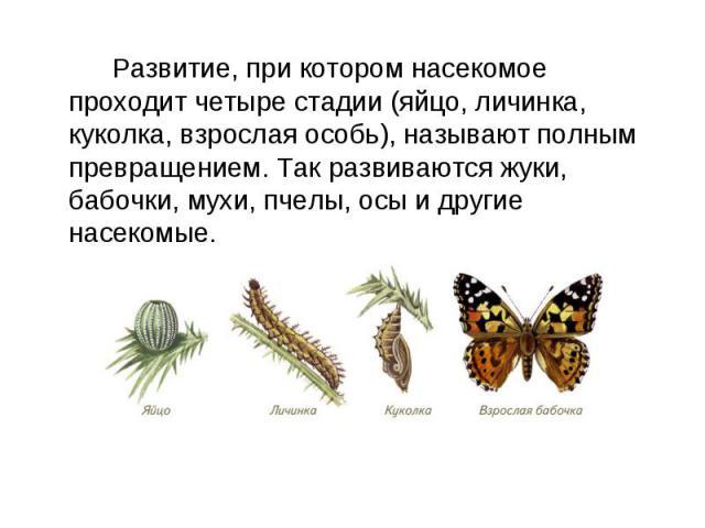 Развитие, при котором насекомое проходит четыре стадии (яйцо, личинка, куколка, взрослая особь), называют полным превращением. Так развиваются жуки, бабочки, мухи, пчелы, осы и другие насекомые.