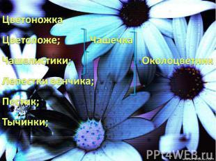 Цветоножка Цветоложе; Чашечка Чашелистики; Околоцветник Лепестки венчика; Пестик
