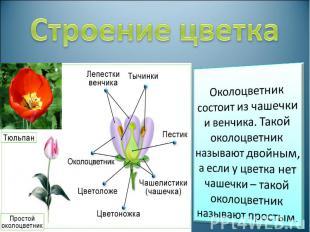 Строение цветка Околоцветник состоит из чашечки и венчика. Такой околоцветник на