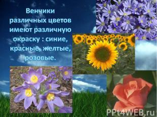 Венчики различных цветов имеют различную окраску : синие, красные, желтые, розов