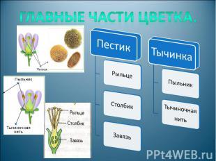 Главные части цветка.