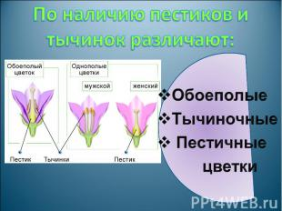 По наличию пестиков и тычинок различают: Обоеполые Тычиночные Пестичные цветки
