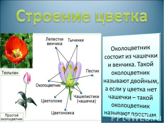 Строение цветка Околоцветник состоит из чашечки и венчика. Такой околоцветник называют двойным, а если у цветка нет чашечки – такой околоцветник называют простым.