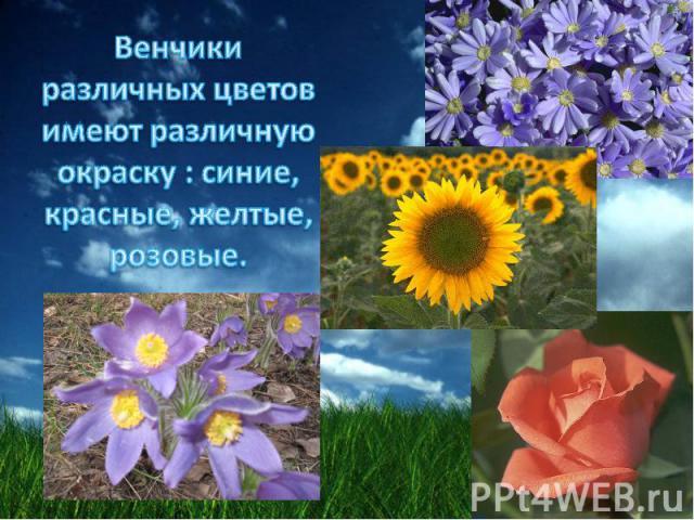 Венчики различных цветов имеют различную окраску : синие, красные, желтые, розовые.