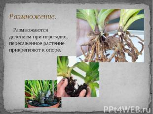 Размножение. Размножаются делением при пересадке, пересаженное растение прикрепл