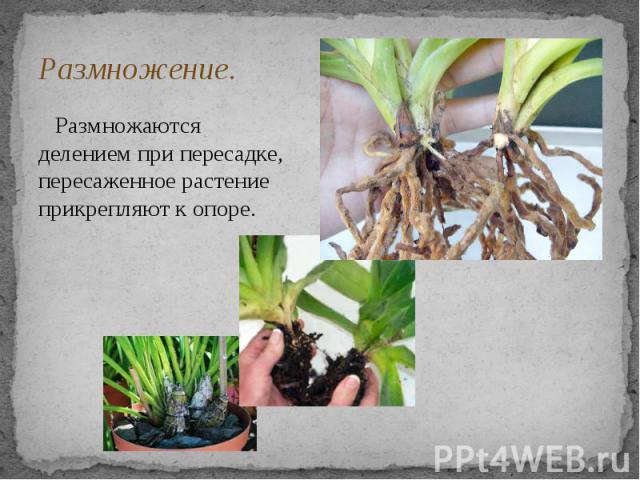 Размножение. Размножаются делением при пересадке, пересаженное растение прикрепляют к опоре.