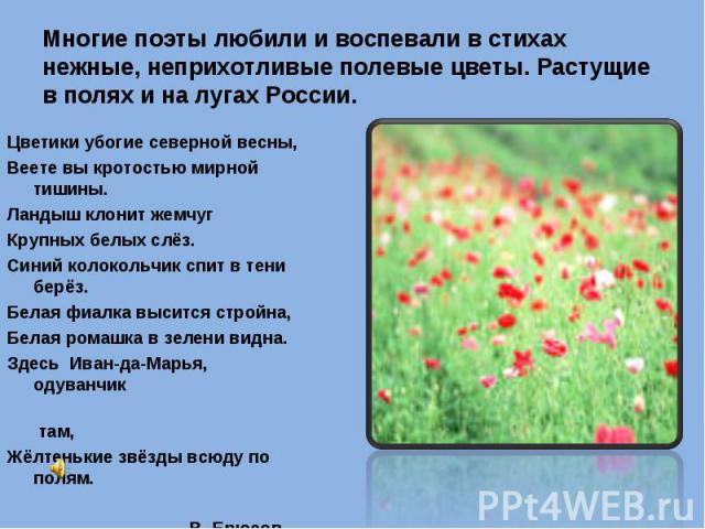 Многие поэты любили и воспевали в стихах нежные, неприхотливые полевые цветы. Растущие в полях и на лугах России. Цветики убогие северной весны, Веете вы кротостью мирной тишины. Ландыш клонит жемчуг Крупных белых слёз. Синий колокольчик спит в тени…