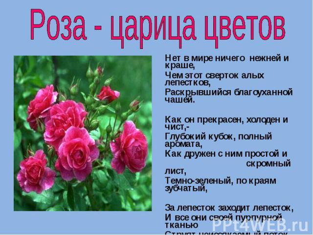 Роза - царица цветов Нет в мире ничего нежней и краше, Чем этот сверток алых лепестков, Раскрывшийся благоуханной чашей. Как он прекрасен, холоден и чист,- Глубокий кубок, полный аромата, Как дружен с ним простой и скромный лист, Темно-зеленый, по к…
