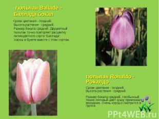 тюльпан Ballade - Баллада бокал Сроки цветения - поздний. Высота растения - сред
