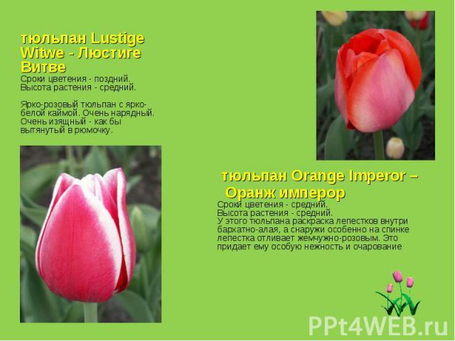 тюльпан Lustige Witwe - Люстиге Витве Сроки цветения - поздний. Высота растения - средний. Ярко-розовый тюльпан с ярко-белой каймой. Очень нарядный. Очень изящный - как бы вытянутый в рюмочку. тюльпан Orange Imperor – Оранж имперор Сроки цветения - …