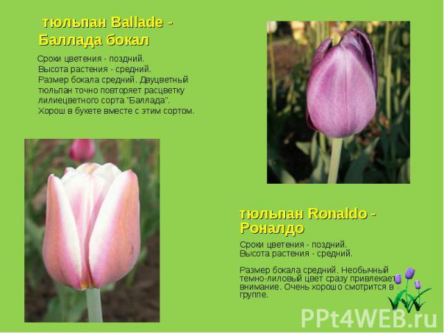 тюльпан Ballade - Баллада бокал Сроки цветения - поздний. Высота растения - средний. Размер бокала средний. Двуцветный тюльпан точно повторяет расцветку лилиецветного сорта