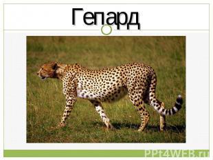 Гепард