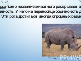 Носорог- само название животного раскрывает его особенность. У него на переносиц