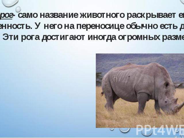 Носорог- само название животного раскрывает его особенность. У него на переносице обычно есть два рога. Эти рога достигают иногда огромных размеров. Носорог- само название животного раскрывает его особенность. У него на переносице обычно есть два ро…
