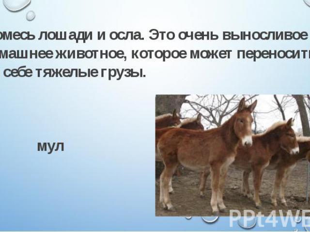 Помесь лошади и осла. Это очень выносливое домашнее животное, которое может переносить на себе тяжелые грузы. Помесь лошади и осла. Это очень выносливое домашнее животное, которое может переносить на себе тяжелые грузы. мул