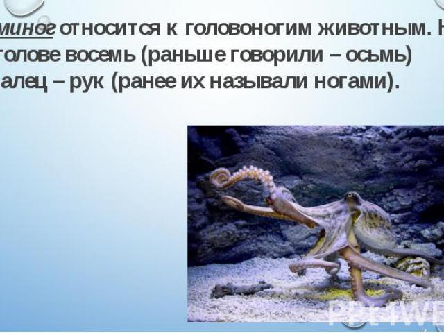 Осьминог относится к головоногим животным. На его голове восемь (раньше говорили – осьмь) щупалец – рук (ранее их называли ногами). Осьминог относится к головоногим животным. На его голове восемь (раньше говорили – осьмь) щупалец – рук (ранее их наз…