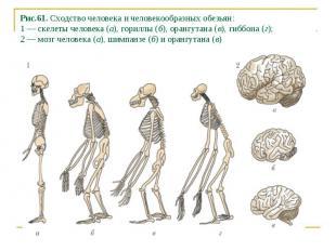 Рис.61. Сходство человека и человекообразных обезьян: 1 — скелеты человека (а),