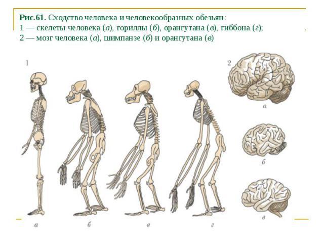 Рис.61. Сходство человека и человекообразных обезьян: 1 — скелеты человека (а), гориллы (б), орангутана (в), гиббона (г); 2 — мозг человека (а), шимпанзе (б) и орангутана (в)
