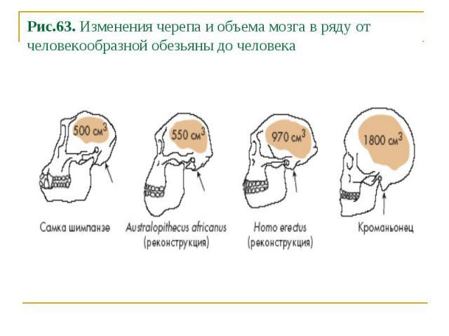 Рис.63. Изменения черепа и объема мозга в ряду от человекообразной обезьяны до человека