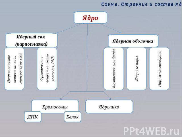 Схема. Строение и состав ядра