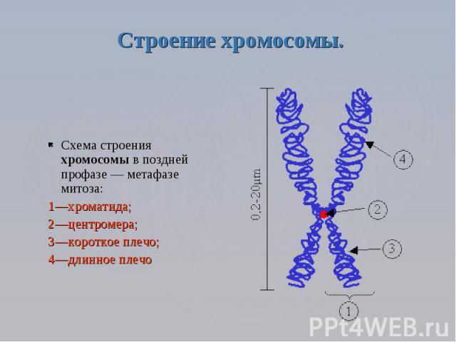Строение хромосомы. Схема строения хромосомы в поздней профазе — метафазе митоза: 1—хроматида; 2—центромера; 3—короткое плечо; 4—длинное плечо