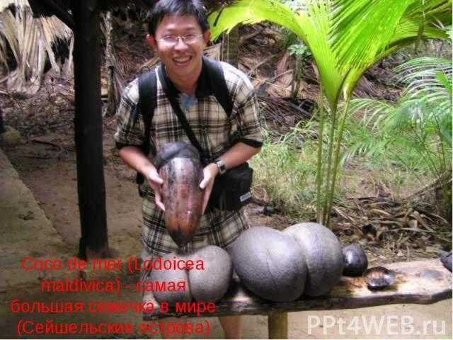Coco de mer (Lodoicea maldivica) - самая большая семечка в мире (Сейшельские острова)