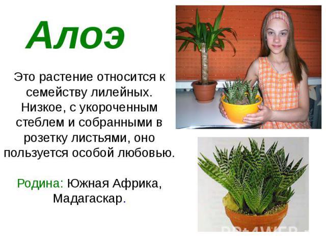 Алоэ Это растение относится к семейству лилейных. Низкое, с укороченным стеблем и собранными в розетку листьями, оно пользуется особой любовью. Родина: Южная Африка, Мадагаскар.
