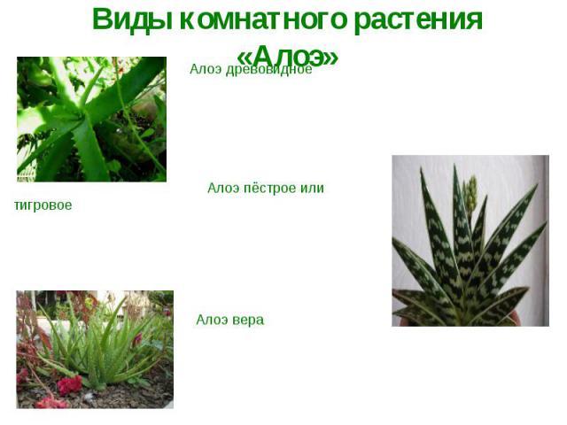 Виды комнатного растения «Алоэ»Алоэ древовидное У него развитый ствол, листья толстые серовато-зелёного цвета, имеют заострённую мечевидную форму и острые зубцы. В комнате может вырастать до 1 метра в высоту. Алоэ пёстрое или тигровое Этот вид отлич…