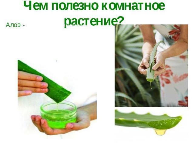 Чем полезно комнатное растение?Алоэ - находит свое применение в гомеопатии (заболевания желудка, кишечника). Толстые, мясистые листья содержат сок, который является целебным для кожи (применяется при лечении ран),в косметике (маски, мази), медицине(…