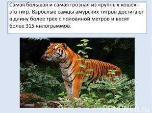 Самая большая и самая грозная из крупных кошек - это тигр. Взрослые самцы амурск