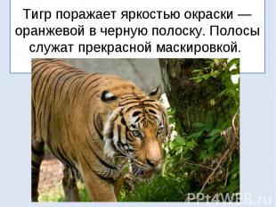 Тигр поражает яркостью окраски — оранжевой в черную полоску. Полосы служат прекр