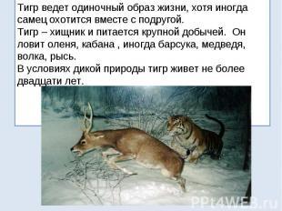 Тигр ведет одиночный образ жизни, хотя иногда самец охотится вместе с подругой.