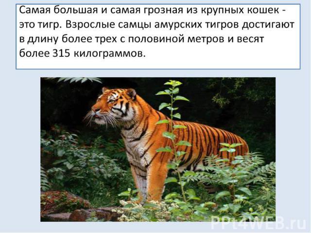 Самая большая и самая грозная из крупных кошек - это тигр. Взрослые самцы амурских тигров достигают в длину более трех с половиной метров и весят более 315 килограммов.