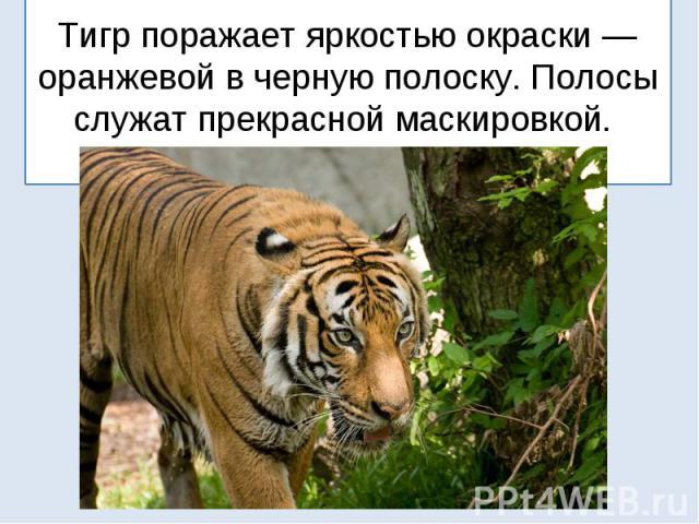 Тигр поражает яркостью окраски — оранжевой в черную полоску. Полосы служат прекрасной маскировкой.
