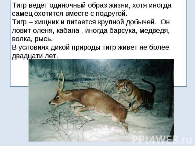 Тигр ведет одиночный образ жизни, хотя иногда самец охотится вместе с подругой. Тигр – хищник и питается крупной добычей. Он ловит оленя, кабана , иногда барсука, медведя, волка, рысь. В условиях дикой природы тигр живет не более двадцати лет.