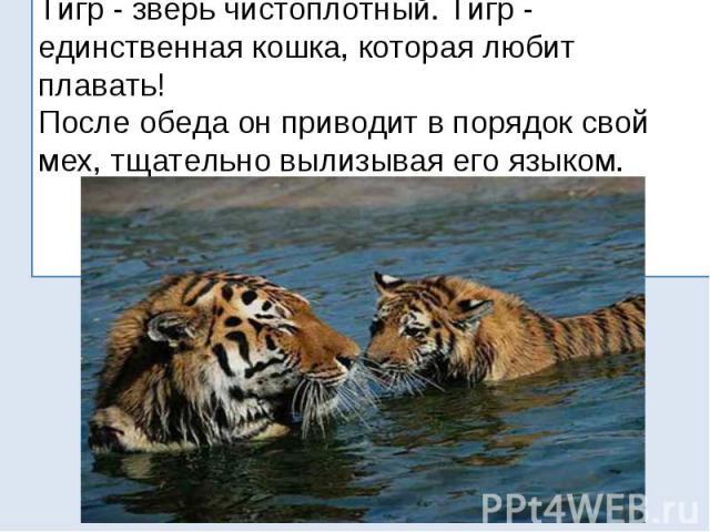 Тигр - зверь чистоплотный. Тигр - единственная кошка, которая любит плавать! После обеда он приводит в порядок свой мех, тщательно вылизывая его языком.