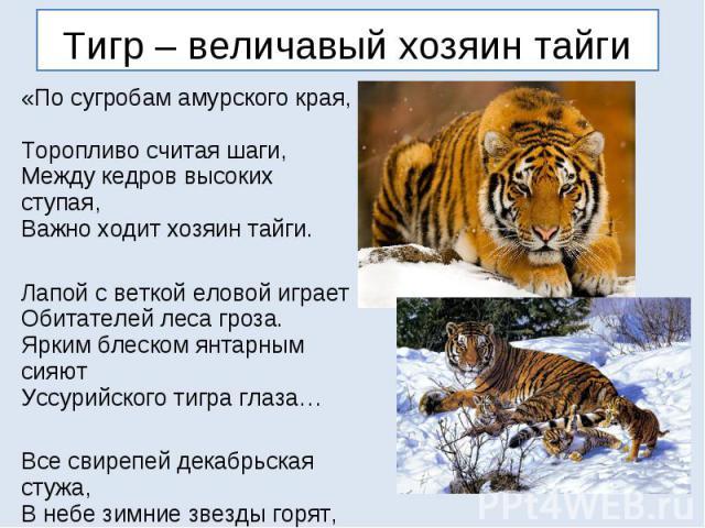 Тигр – величавый хозяин тайги «По сугробам амурского края, Торопливо считая шаги, Между кедров высоких ступая, Важно ходит хозяин тайги. Лапой с веткой еловой играет Обитателей леса гроза. Ярким блеском янтарным сияют Уссурийского тигра глаза… Все с…