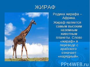 ЖИРАФ Родина жирафа –Африка. Жираф является самым высоким наземным животным план