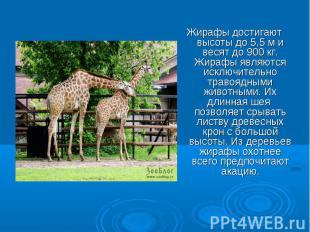 Жирафы достигают высоты до 5,5 м и весят до 900 кг. Жирафы являются исключительн