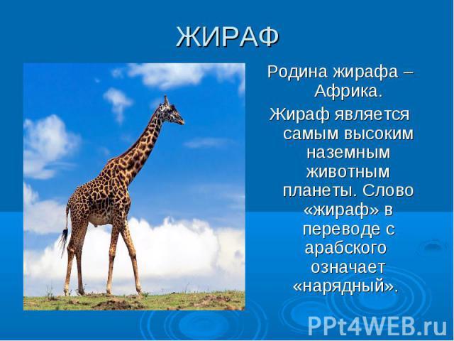 ЖИРАФ Родина жирафа –Африка. Жираф является самым высоким наземным животным планеты. Слово «жираф» в переводе с арабского означает «нарядный».