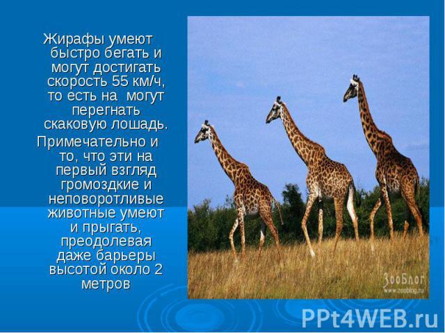 Жирафы умеют быстро бегать и могут достигать скорость 55 км/ч, то есть на могут перегнать скаковую лошадь. Примечательно и то, что эти на первый взгляд громоздкие и неповоротливые животные умеют и прыгать, преодолевая даже барьеры высотой около 2 метров