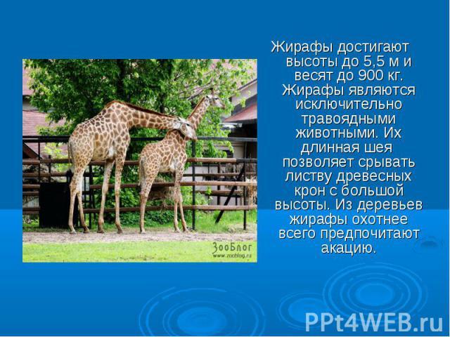 Жирафы достигают высоты до 5,5 м и весят до 900 кг. Жирафы являются исключительно травоядными животными. Их длинная шея позволяет срывать листву древесных крон с большой высоты. Из деревьев жирафы охотнее всего предпочитают акацию.