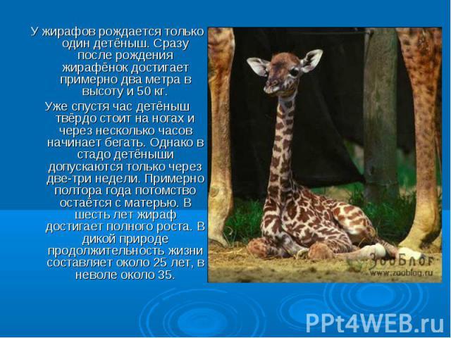У жирафов рождается только один детёныш. Сразу после рождения жирафёнок достигает примерно два метра в высоту и 50 кг. Уже спустя час детёныш твёрдо стоит на ногах и через несколько часов начинает бегать. Однако в стадо детёныши допускаются только ч…