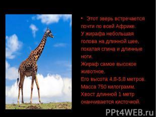 Этот зверь встречается почти по всей Африке. У жирафа небольшая голова на длинно