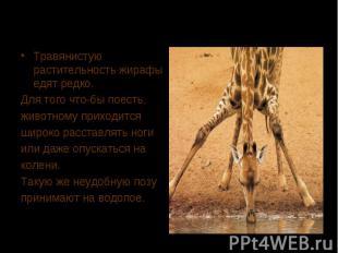 Травянистую растительность жирафы едят редко. Для того что-бы поесть, животному