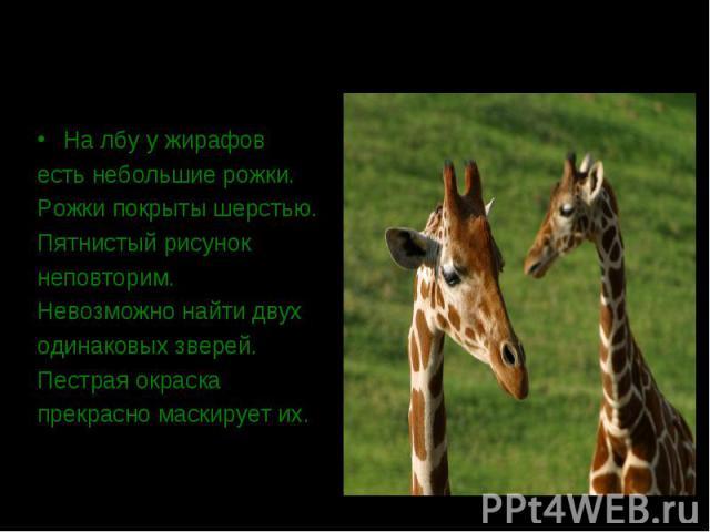 На лбу у жирафов есть небольшие рожки. Рожки покрыты шерстью. Пятнистый рисунок неповторим. Невозможно найти двух одинаковых зверей. Пестрая окраска прекрасно маскирует их.
