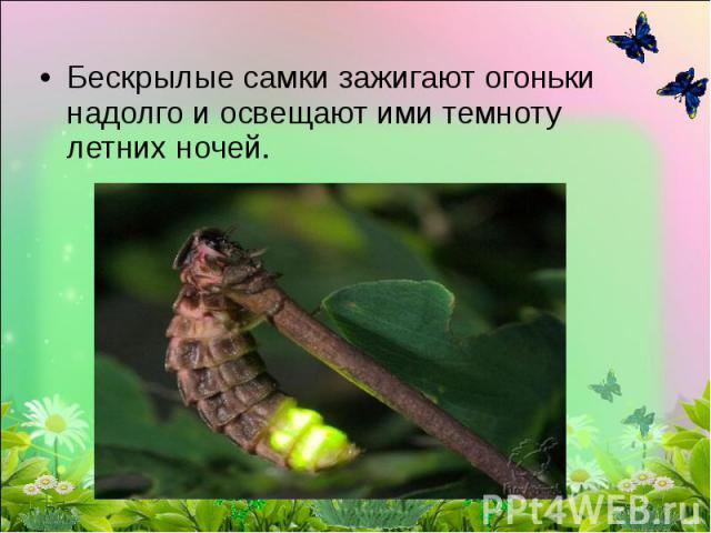 Бескрылые самки зажигают огоньки надолго и освещают ими темноту летних ночей.