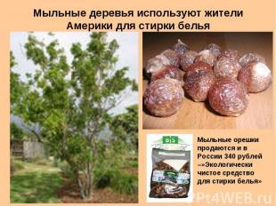 Мыльные деревья используют жители Америки для стирки белья Мыльные орешки продаю