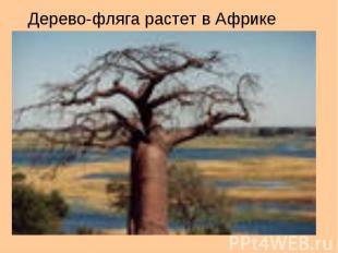 Дерево-фляга растет в Африке