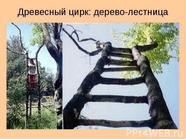 Древесный цирк: дерево-лестница